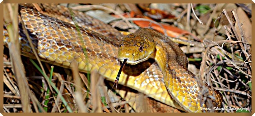 Florida Rat Snake